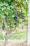 Red grapes and leaves in vineyard landscape Stock Images