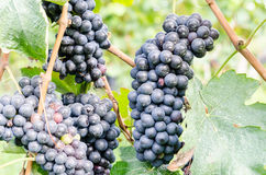 Red grapes and leaves in vineyard landscape Royalty Free Stock Image