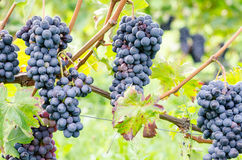 Red grapes and leaves in vineyard landscape Stock Image