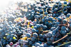 Red grapes pile Stock Images