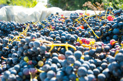 Red grapes pile Stock Photo