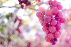 Red grapes pink sweet moment. Sweet moment.Red wine grapes on old vine Royalty Free Stock Image