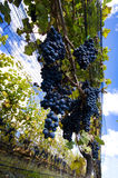 Red grapes ready for harvest Royalty Free Stock Photos