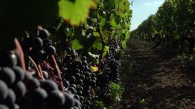 Red grapes ready to be harvested stock video