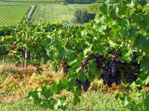 Red grapes ready to be harvested on the hills covered of vineyards  in eastern Friuli. Red grapes ready to be harvested on the hills covered of vineyards  in Royalty Free Stock Photo