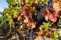 Vineyards in Ukraine royalty free stock image