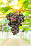 Red grapes ready to be harvested. Stock Images