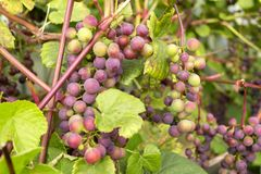 Red grapes ripen on the vine.  Royalty Free Stock Photography