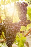 Red grapes ripen on a vineyard in the sun royalty free stock photos