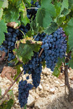Red grapes Sangiovese royalty free stock images