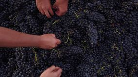 Red grapes selection. And final cleaning process during harvest. Top view stock footage