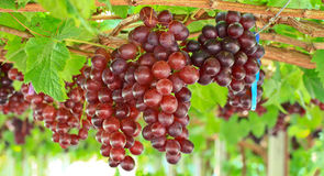 Red grapes. At Silverlake in Pattaya, Thailand Stock Photos