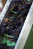 Red grapes. Sorting red grapes in a winery after harvest stock images