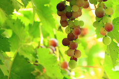 Red grapes in the sun Stock Images