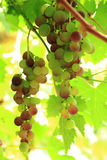 Red grapes in the sun Royalty Free Stock Photo
