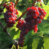Red grapes in the sunlight. Red grabes in the sunlight Royalty Free Stock Photos