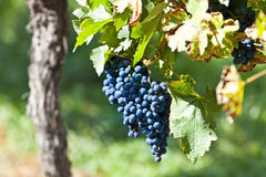 Red grapes in sunlight Royalty Free Stock Image