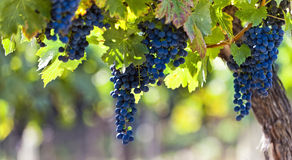 Red grapes in sunlight Royalty Free Stock Photography