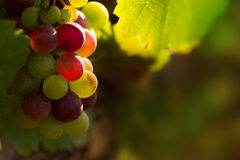 Red grapes in sunset light Royalty Free Stock Images