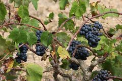 Red grapes on a tree trunk Stock Images