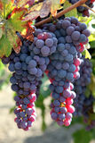 Red Grapes on the Vine. Red wine grapes ripening in the sun, still on the vine in Northern California, green leaves Stock Photo