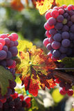 Red Grapes on the Vine. Backlit red wine grapes ripening in the sun, still on the vine in Northern California, autumn leaves Stock Image