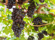 Red Grapes on the vine Stock Images
