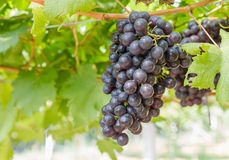Red Grapes on the vine Royalty Free Stock Photos