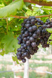 Red Grapes on the vine. In vineyard before harvest Stock Photos