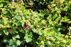 Red Grapes on the Vine. Close up outdoors Royalty Free Stock Photography