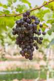 Red Grapes on the vine Royalty Free Stock Images