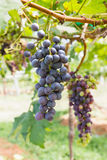 Red Grapes on the vine. In vineyard before harvest Royalty Free Stock Photography
