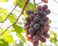 Red Grapes on the vine. In vineyard before harvest Stock Photography