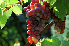 Red grapes. Royalty Free Stock Images