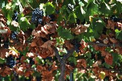 Red grapes on the vine, Andalusia. Ripe red grapes on the vine, Montilla, Cordoba Province, Andalusia, Spain, Western Europe Royalty Free Stock Photo