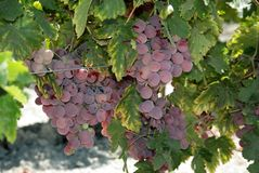 Red grapes on the vine, Andalusia. Ripe red grapes on the vine near Jerez de la Frontera, Cadiz Province, Andalusia, Spain, Western Europe Stock Photo