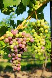 Red grapes in vine Stock Photo