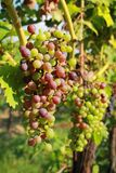 Red grapes in vine Stock Photography
