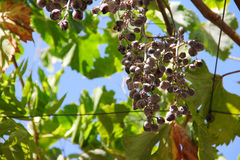 Red Grapes on the Vine. In garden close-up Royalty Free Stock Photos