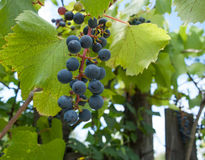 Red grapes on the vine. With green leaves Stock Photo