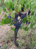 Red grapes on the vine with green leaves . Tuscany, Italy.  Royalty Free Stock Photos