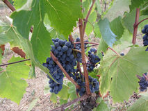 Red grapes on the vine with green leaves . Tuscany, Italy.  Stock Photo