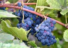 Red Grapes on the Vine. In Kakheti region. Georgia Stock Photo