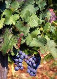Red grapes on vine near Lake Como, Italy. Royalty Free Stock Photo