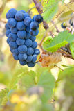 Red grapes on a vine. With rich autumn colors Royalty Free Stock Photography