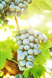 Red Grapes on the Vine Stock Photos