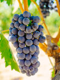 Red grapes on the vine. Tinta de Toro grape. Red grapes on the vine. Tinta de Toro grape Royalty Free Stock Photography