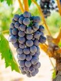 Red grapes on the vine. Tinta de Toro grape. Royalty Free Stock Photography