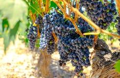 Red grapes on the vine. Tinta de Toro grape. Royalty Free Stock Photo