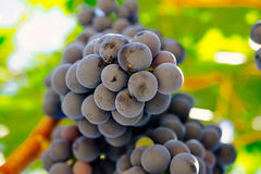 Red grapes on the vine. Tinta de Toro grape. View from below.  Royalty Free Stock Photography